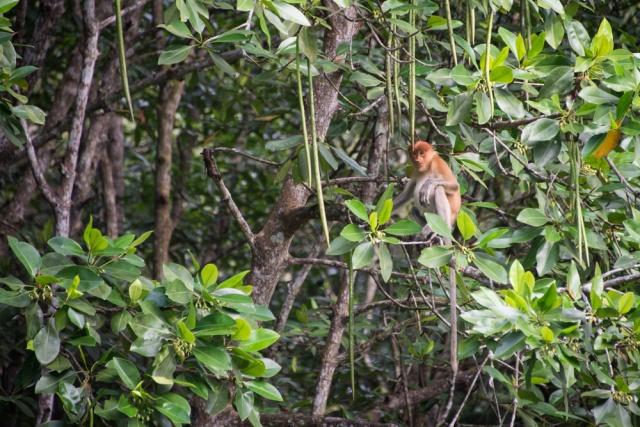 Borneo Probiscus Monkey