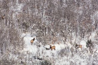 Elk Herd, Colorado