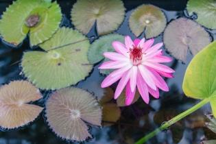 Lombok Lotus Flower