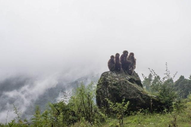 Monkey Family, Bhutan