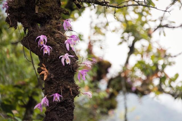 Orchids, Bhutan
