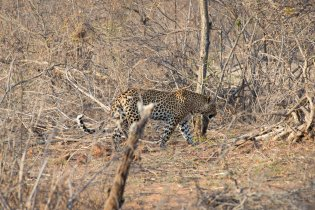 Leopard stalks prey in Kruger National Park