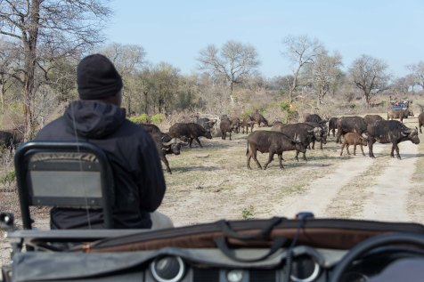 A herd of water buffalo cross a dirt road in front of a safari jeep