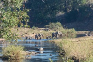 Elephants cross a river in Kruger National Park