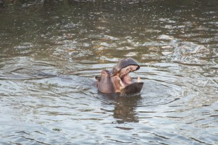 Hippo yawns in Kruger National Park