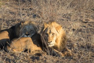 Two male lions lounge in the morning sun