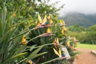 Flowers in the Kirstenbosch Gardens, Cape Town