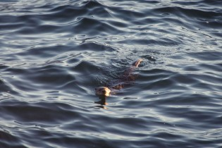 A sea otter pops its head above water in Resurrection Bay