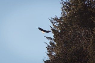 An eagle spreads its wings as it lands on a tree branch