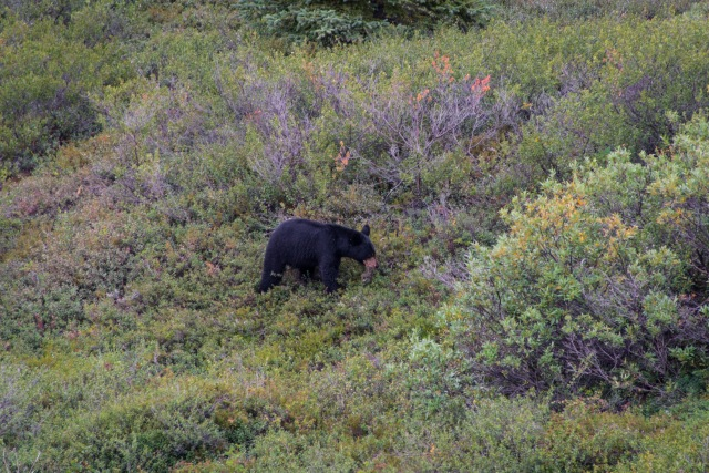 a black bear walks through low scrub