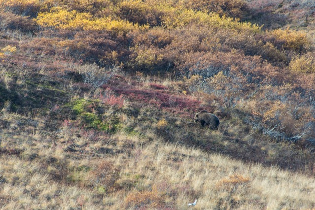 a grizzly bear walks through colorful fall vegetation