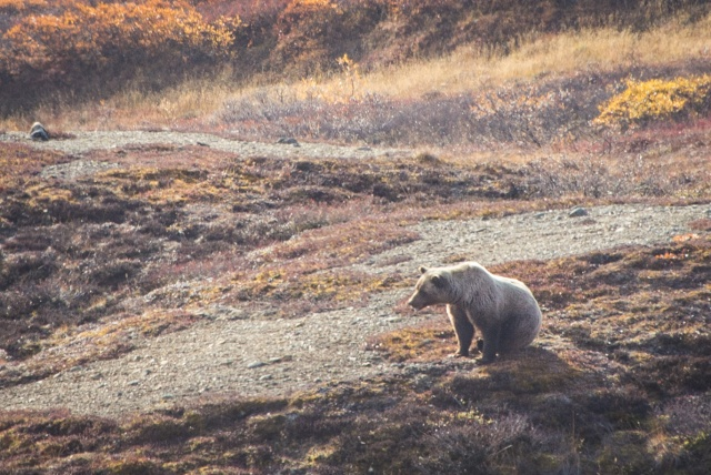 a grizzly bear in denali national park in fall foliage