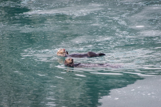 two otters swim on their backs in icy water